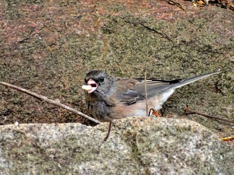 October Hike - Dark-eyed Junco 1