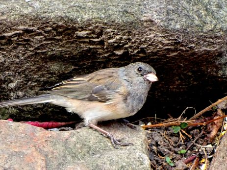 October Hike - Dark-eyed Junco 2