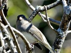 October Hike - Dark-eyed Junco 3