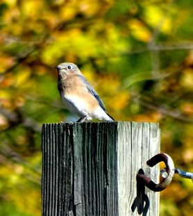 October Hike - Eastern Bluebird