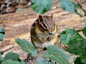 October Hike - Eastern Chipmunk 1