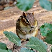 October Hike - Eastern Chipmunk 1