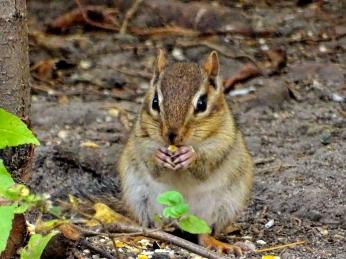 October Hike - Eastern Chipmunk 2