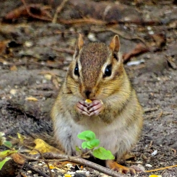 October Hike - Eastern Chipmunk 2