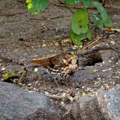 October Hike - Fox Sparrow 1