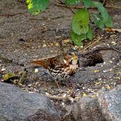 October Hike - Fox Sparrow 1