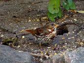October Hike - Fox Sparrow 2
