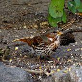 October Hike - Fox Sparrow 2