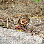 October Hike - Fox Sparrow 3