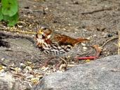 October Hike - Fox Sparrow 4