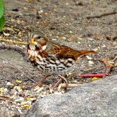 October Hike - Fox Sparrow 4