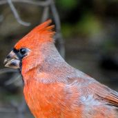 October Hike - Northern Cardinal 1