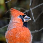 October Hike - Northern Cardinal 2
