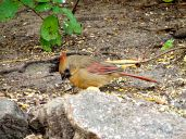October Hike - Northern Cardinal 3