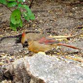 October Hike - Northern Cardinal 3