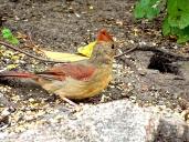 October Hike - Northern Cardinal 4