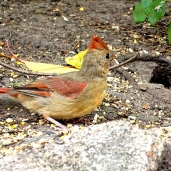 October Hike - Northern Cardinal 4
