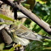 October Hike - Palm Warbler 1