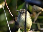 October Hike - Palm Warbler 3