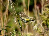 October Hike - Palm Warbler 4