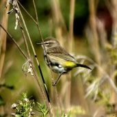 October Hike - Palm Warbler 4