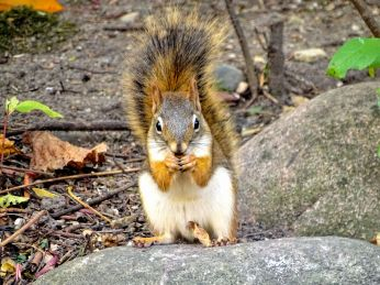 October Hike - Red Squirrel