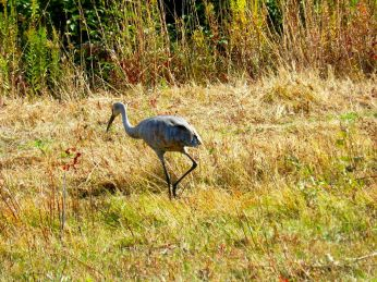 October hike - Sandhill Crane 1