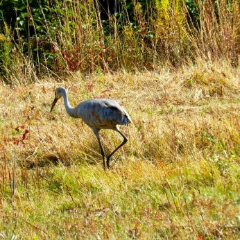 October hike - Sandhill Crane 1