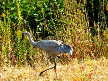 October hike - Sandhill Crane 2