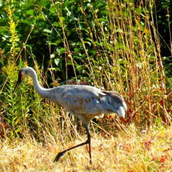 October hike - Sandhill Crane 2