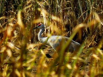 October hike - Sandhill Crane 3