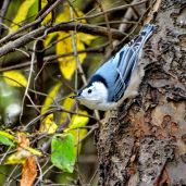 October Hike - White-breasted Nuthatch 2