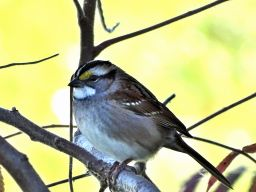 October Hike - White-throated Sparrow 1