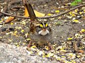 October Hike - White-throated Sparrow 2