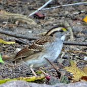 October Hike - White-throated Sparrow 3