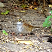 October Hike - White-throated Sparrow 4