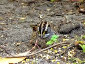 October Hike - White-throated Sparrow 5