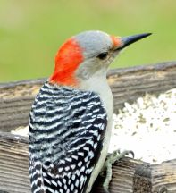 Red-bellied Woodpecker (2)