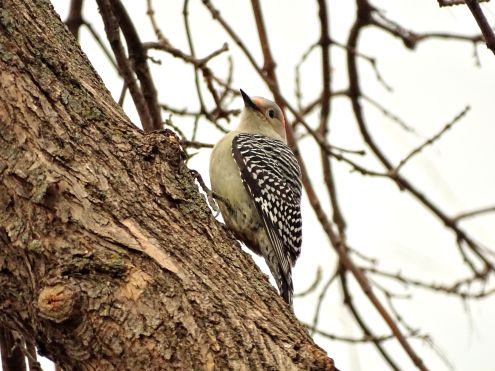 Red-bellied Woodpecker (3)