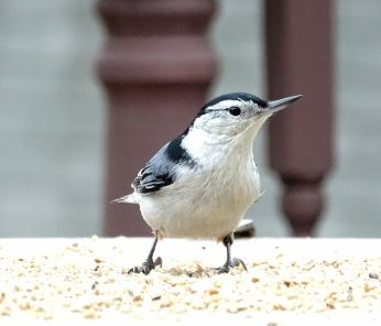 White-breasted Nuthatch (3)