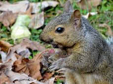 Young Eastern Gray Squirrel (1)