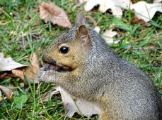 Young Eastern Gray Squirrel (3)