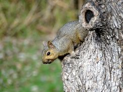 Young Eastern Gray Squirrel (4)