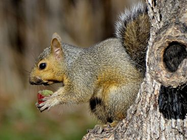 Young Eastern Gray Squirrel (5)