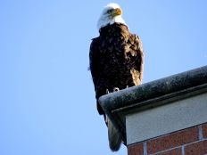 Bald Eagle on office building