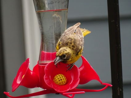 Baltimore Oriole on hummingbird feeder