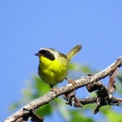 Common Yellowthroat (2)