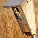Eastern Bluebird (3)