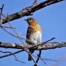 Eastern Bluebird (7)