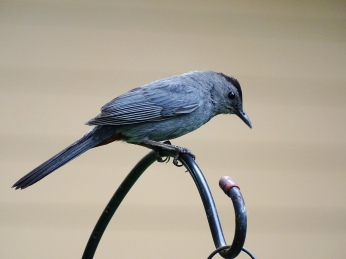 Gray Catbird on feeder pole